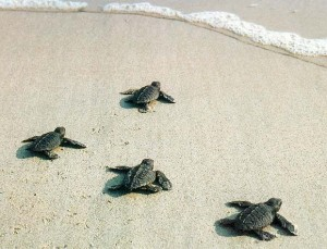 Baby Loggerhead Sea Turtles on Hilton Head