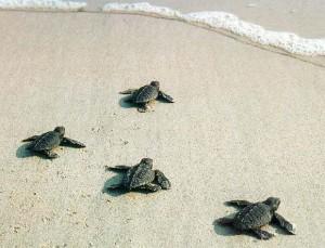 Baby Loggerhead Sea Turtles on Hilton Head
